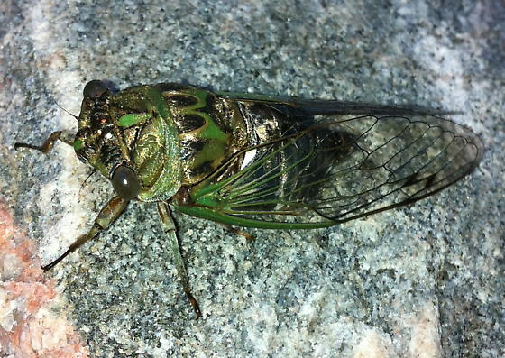 Which cicada - Neotibicen pruinosus