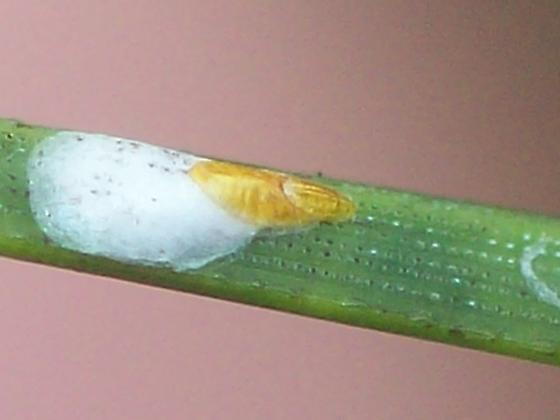 Chionaspis Scale - Chionaspis - male - female