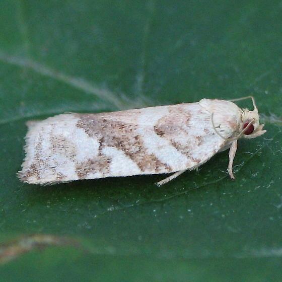 An Archips sp. - Archips negundana