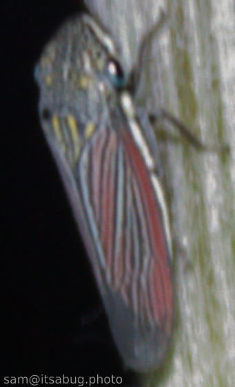 Leafhopper - Cuerna possibly-undescribed-az