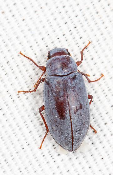 Darkling Beetle - Chilometopon? - Chilometopon helopioides