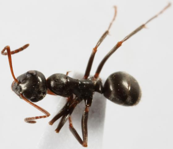 unknown black ant - Formica subsericea