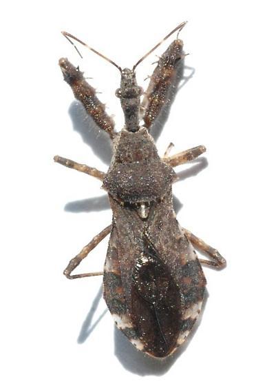 Bug - Sinea spinipes