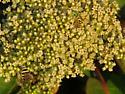 Agapostemon melliventris? - Agapostemon melliventris - male - female