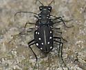 Some kind of sand-loving bugs - Cicindelidia ocellata - male - female