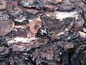 Widow Spiders in North Carolina - Latrodectus mactans