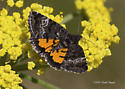 orange-hind wingw moth - Annaphila
