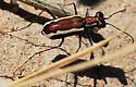 White-striped Tiger Beetle - Parvindela lemniscata