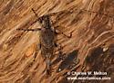 Cerambycid - Trichocanonura linearis - female