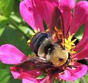 bumblebee from Dixiemaze farms - Xylocopa virginica