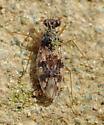 Patapius spinosus? - Patapius spinosus