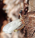 Weird snakefly? - Agulla