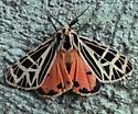 Erebidae: Grammia parthenice? - Grammia parthenice