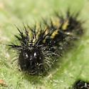 Burdock caterpillar - Vanessa cardui
