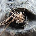 Grass-carryingWasp(Isodontia) Nest - Isodontia