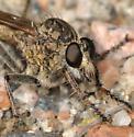 Machimus paropus or erythocnemius? - Machimus erythocnemius - male