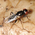 Family Piophilidae - Cheese skippers and kin?