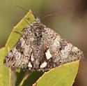 Day flier - Litocala sexsignata