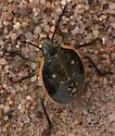 Mojave Desert True Bug - Chlorochroa