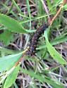New England Buck Moth - Hemileuca lucina