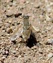 Paravilla bee fly?
