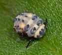 seven-spotted ladybug larva?