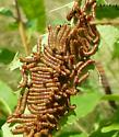 American Chestnut larvae