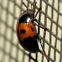 Pleasing Fungus Beetle? - Diaperis maculata