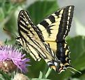Butterfly - Papilio rutulus - female