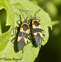 bugs - Oncopeltus fasciatus
