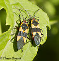 bugs - Oncopeltus sandarachatus