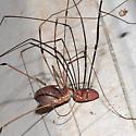 Opiliones mating dance? - Leiobunum vittatum - male - female