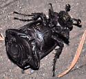 Beetle - Nicrophorus nigrita