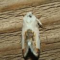 Moth - Acontia cretata