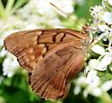 Orange eyed butterfly - Asterocampa clyton