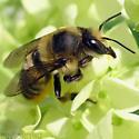 Leaf-cutting bee - Xanthosarus?? - Megachile latimanus - female