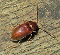 Unidentified Beetle - Ptilodactyla - male