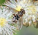 Syrphid AB - Lejops lineatus - female