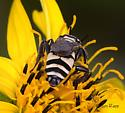 Bee 2 - Triepeolus remigatus