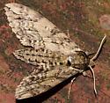 Big Brown Sphinx Moth?? - Ceratomia undulosa