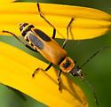Goldenrod Soldier Beetle? - Chauliognathus pensylvanicus