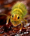 Collembola - Bourletiella viridescens - female