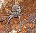 SpiderGray07042016_SD_ - Hogna carolinensis - female