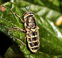 Genus Stratiomys , maybe? - Odontomyia