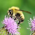 bumblebee - Bombus perplexus