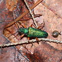 Green longhorn with orange legs (and tiny snail) - Anthophylax cyaneus