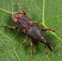 Coleoptera - Sitophilus oryzae