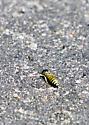 Bee or Fly? - Microbembex monodonta