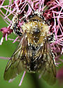 Bee  - Bombus griseocollis - male
