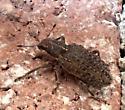 beetle - Sitona californius